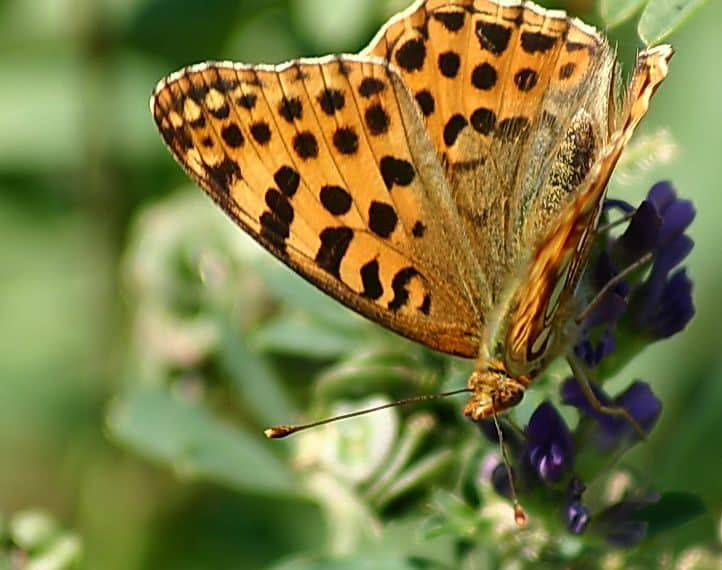 Heimische Schmetterlinge: Ähnlicher Perlmuttfalter