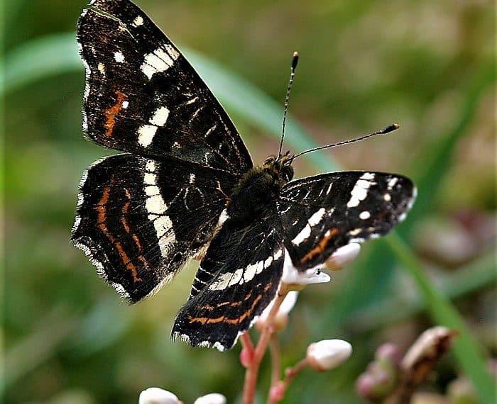 Heimische Schmetterlinge: Blauschwarzer Eisvogel
