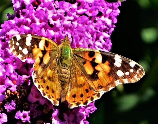 Heimische Schmetterlinge: Distelfalter