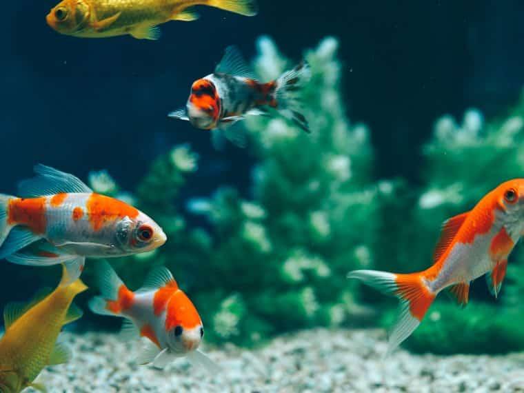 Eingewöhnung von Fischen im Aquarium