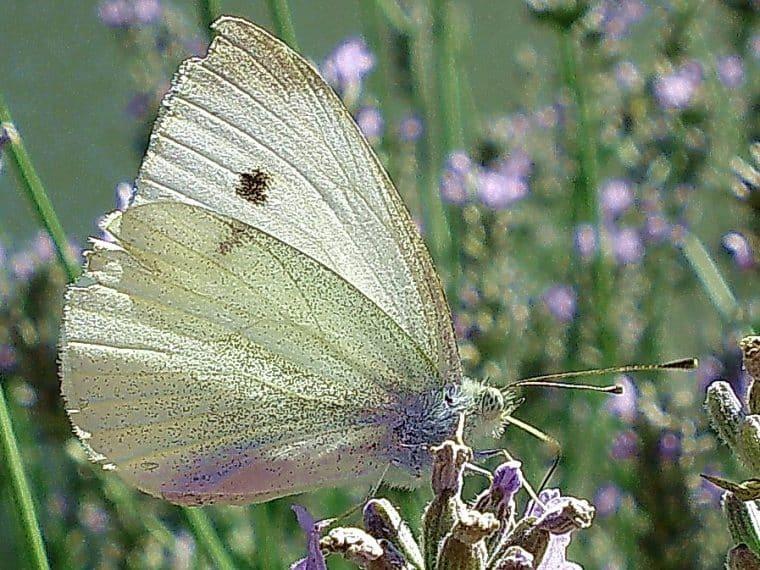 Heimische Schmetterlinge: Großer Kohlweißling