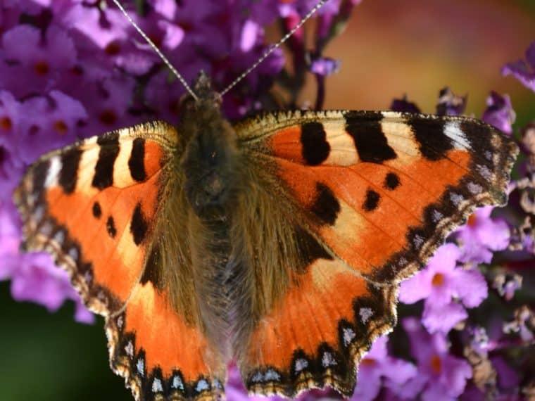Heimische Schmetterlinge: Kleiner Fuchs