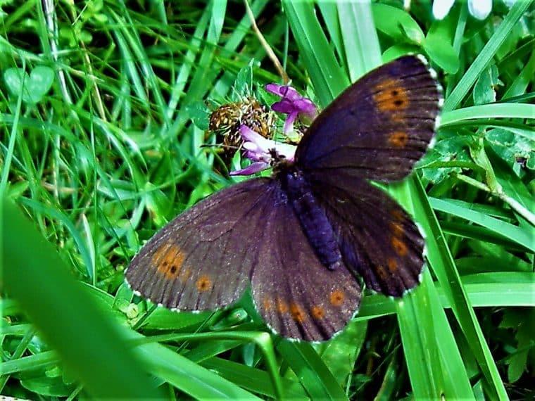 Heimische Schmetterlinge: Rundaugen Mohrenfalter