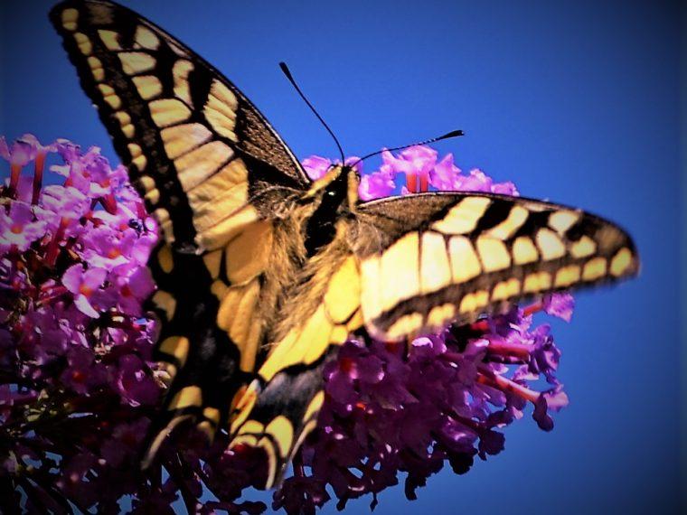 Heimische Schmetterlinge: Schwalbenschwanz