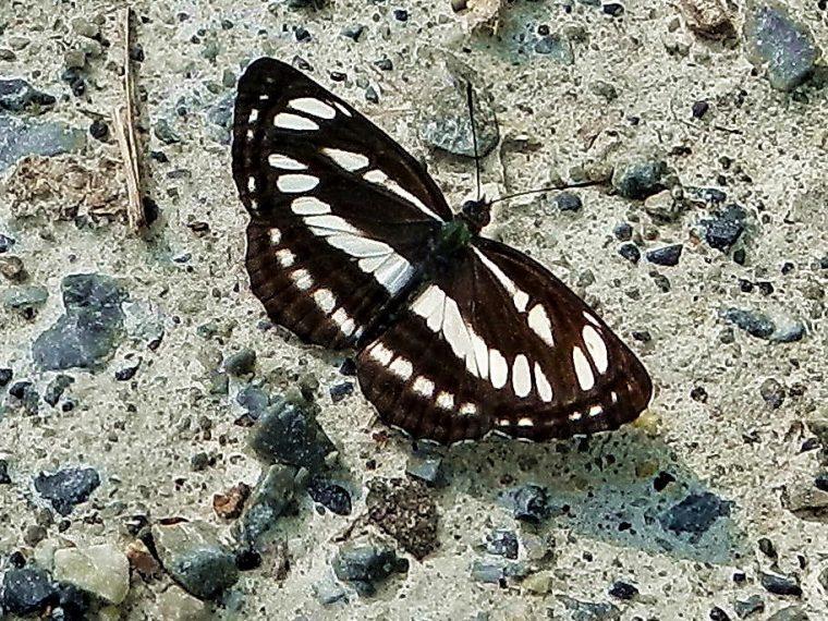 Heimische Schmetterlinge: Schwarzbrauner Trauerfalter