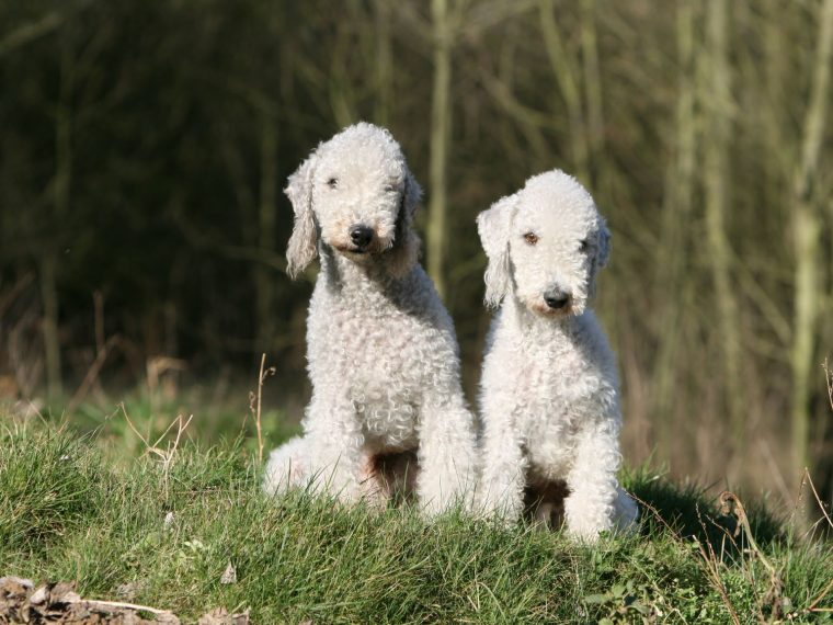 Bedlington Terrier
