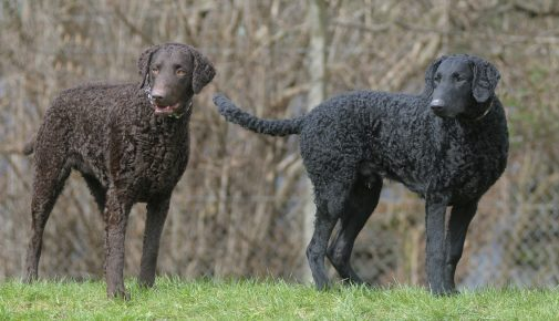 Curly Coated Retriever im Rasseportrait