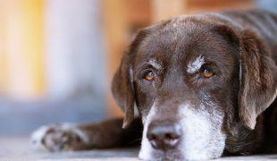 Demenz bei Hunden