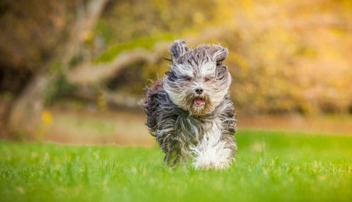 Katalnischer Schäferhund