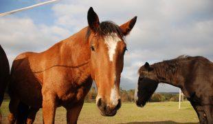 Körpersprache von Pferden