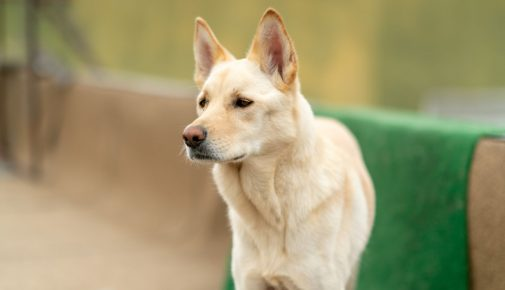 Korea Jindo Dog