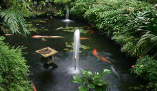 Aquarienfische im Teich